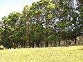 Starr-120510-5684-Lophostemon confertus-bark-Ka Hale Olinda-Maui (24511736204).jpg