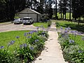 Starr-120510-5693-Agapanthus praecox subsp orientalis-flowering habit along footpath-Ka Hale Olinda-Maui (24774746639).jpg