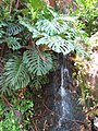 Starr-120522-6436-Monstera deliciosa-habit and water feature-Iao Tropical Gardens of Maui-Maui (25050440121).jpg