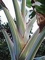 Starr-121108-0857-Musa x paradisiaca-Maoli Maia Manini Koae showing striped variegation-Pali o Waipio-Maui (24900901950).jpg