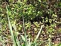 Starr-130320-3393-Ageratum conyzoides-with Zizina otis Lesser grass blue butterfly-Mokolea Pt Kilauea Pt NWR-Kauai (25115909281).jpg