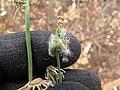 Starr-130610-4791-Sonchus oleraceus-seeds and pappus-Kealia Pond NWR-Maui (25118688231).jpg