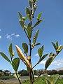 Starr-130617-4899-Sida rhombifolia-leaves and flowers-Kealia Pond NWR-Maui (24585295623).jpg