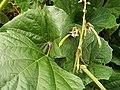Starr-131002-2397-Pachyrhizus erosus-flowers leaves and seedpods-Hawea Pl Olinda-Maui (25201052346).jpg