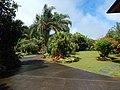 Starr-140925-1928-Livistona chinensis-habit in landscaping-Pali o Waipio Huelo-Maui (25220186926).jpg