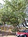 Starr 011104-0003 Calophyllum inophyllum.jpg