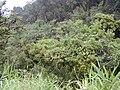 Starr 020813-0043 Syzygium sandwicensis.jpg