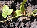 Starr 030716-0160 Passiflora foetida.jpg