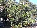 Starr 031108-0287 Schefflera arboricola.jpg