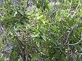 Starr 031111-0137 Nestegis sandwicensis.jpg