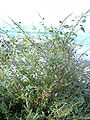 Starr 040410-0039 Amaranthus spinosus.jpg