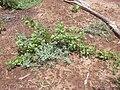 Starr 040411-0014 Vitex rotundifolia.jpg