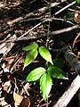 Starr 041219-1593 Canavalia hawaiiensis.jpg