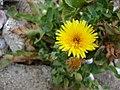 Starr 050225-4550 Reichardia picroides.jpg