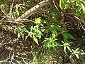 Starr 050516-1256 Turnera ulmifolia.jpg