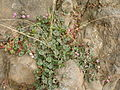 Starr 050815-3484 Persicaria capitata.jpg