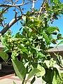 Starr 060922-9116 Erythrina crista-galli.jpg