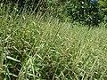 Starr 061109-1514 Melinis minutiflora.jpg