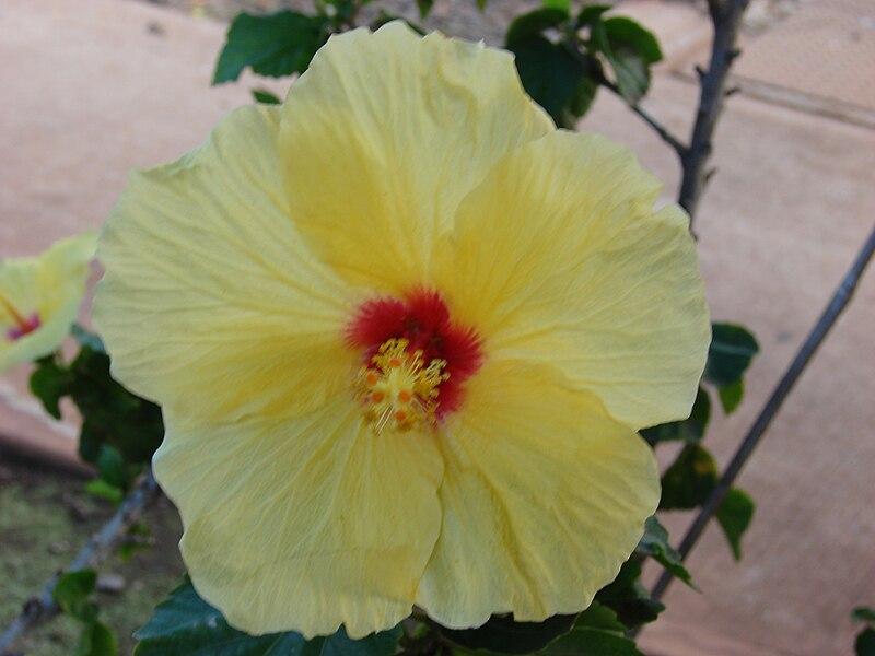 File:Starr 070123-3567 Hibiscus rosa-sinensis.jpg