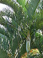 Starr 070124-3869 Chrysalidocarpus lutescens.jpg