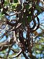 Starr 070221-4796 Erythrina crista-galli.jpg