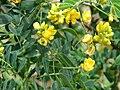 Starr 070321-6024 Senna pendula.jpg