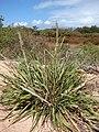 Starr 070607-7266 Eragrostis variabilis.jpg