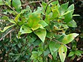 Starr 070621-7468 Myrtus communis.jpg