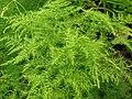 Starr 080117-1771 Asparagus setaceus.jpg