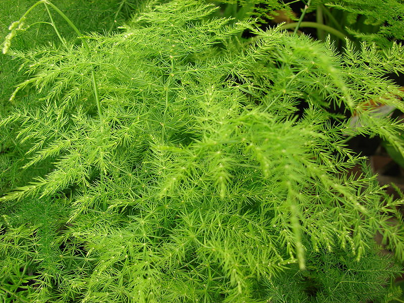 Asparagus Setaceus by Forest & Kim Starr