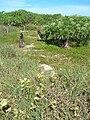Starr 080603-9128 Solanum nelsonii.jpg