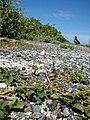 Starr 080604-6056 Amaranthus viridis.jpg