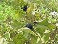 Starr 080605-9286 Solanum nelsonii.jpg