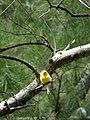 Starr 080609-7970 Casuarina equisetifolia.jpg