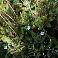 Stellaires des bois-Caryophyllaceae-Tourbière de Gimel-20141018.jpg