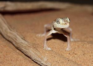 Sands of Samar - Stenodactylus doriae