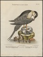 Stercorarius cephus - 1700-1880 - Print - Iconographia Zoologica - Special Collections University of Amsterdam - UBA01 IZ17900180.tif
