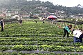 Strawberry Picking La Trinidad 2018.jpg