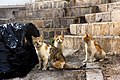 Stray cats in Amman, Jordan, 2015-04-27.jpg