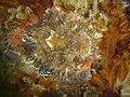 Striped anemones at Smits Reef DSC00255.JPG