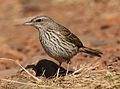 Striped pipit, Anthus lineiventris, at Walter Sisulu National Botanical Garden, Gauteng, South Africa (28853785504).jpg