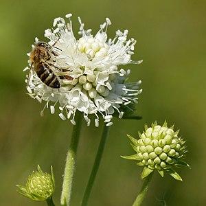 Succisa pratensis - Image: Succisa pratensis Apis mellifera mellifera Keila 2