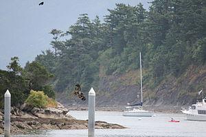Sucia Island - Young bald eagle soars over Sucia Island