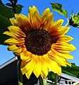 Sulflower in Sion.jpg