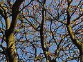 Sumak octowiec, 29 październik. Prawie nagie już gałęzie..jpg