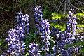 Sun peaks alpine flowers in full bloom.Arctic Lupine (Lupinus arcticus). (19615831082).jpg