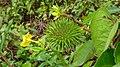 Suriname plants (33409010821).jpg