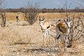 Suspicious Springbok (3687258525).jpg