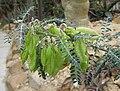 Sutherlandia frutescens 03.jpg