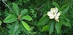 Sweetbay Magnolia Magnolia virginiana Comparison 4400px.jpg